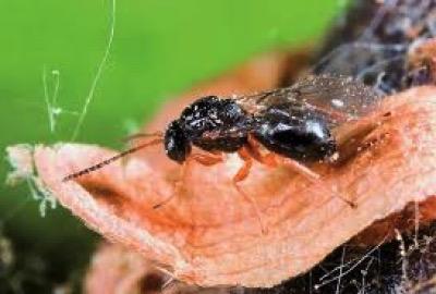 Εντοπίστηκε στην Αρκαδία το καταστροφικό έντομο «σφήκα της καστανιάς» – Απαιτείται εγρήγορση των παραγωγών (ph)