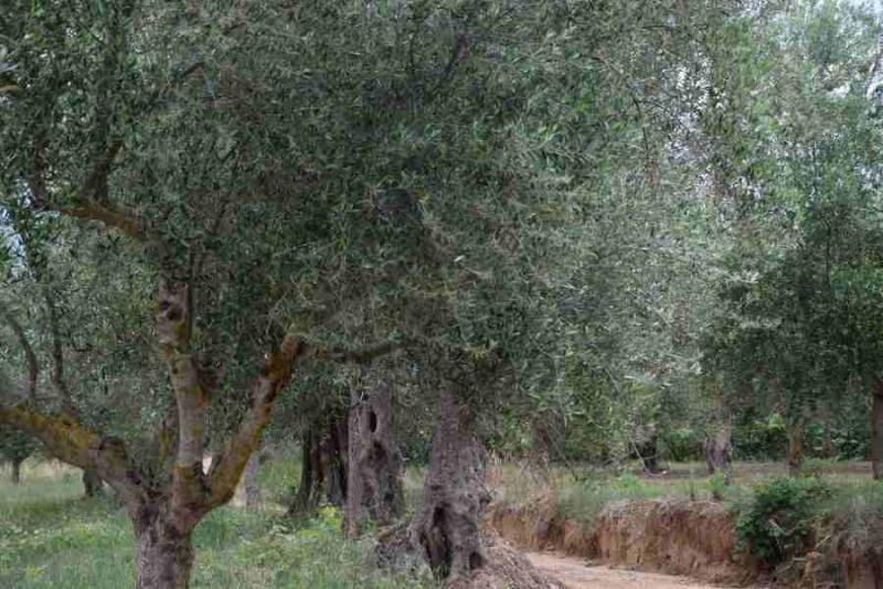 Investment with knowledge in olive tree farming