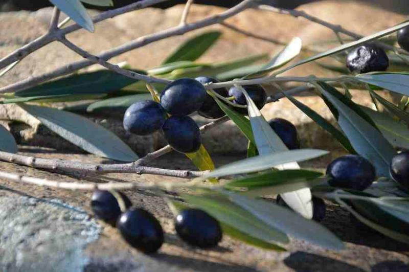 The first Master in Table Olive and Olive Oil in Greece